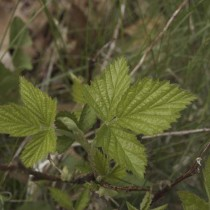 Red Raspberry Leaf (Rubus Idaeus)